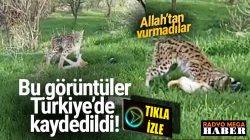 Tunceli ,Hozat'ta Vaşak yakaladığı kediyi kaptı götürdü