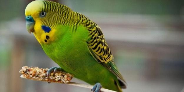 Elazığ'da Kazada kaybolan muhabbet kuşunu jandarma buldu